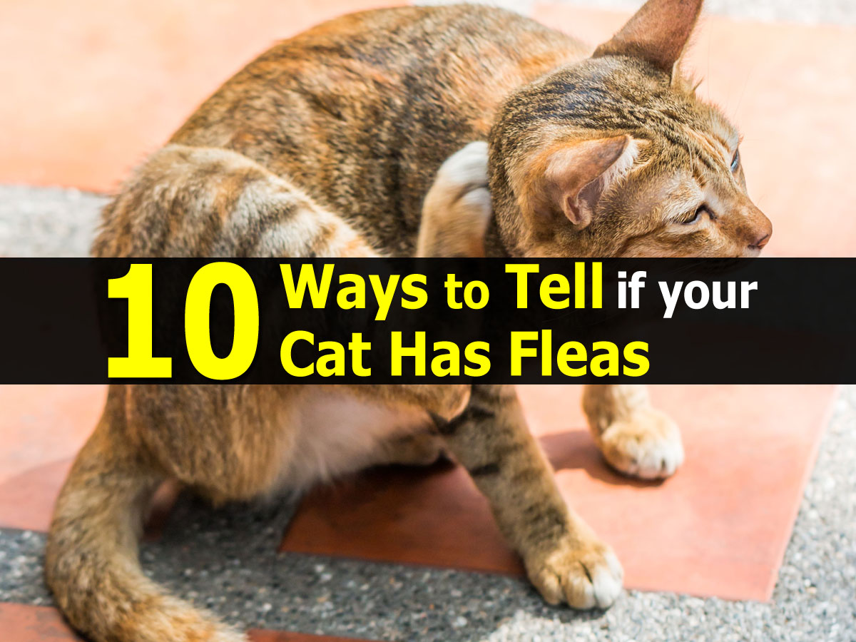 10 Ways to Tell if your Cat Has Fleas