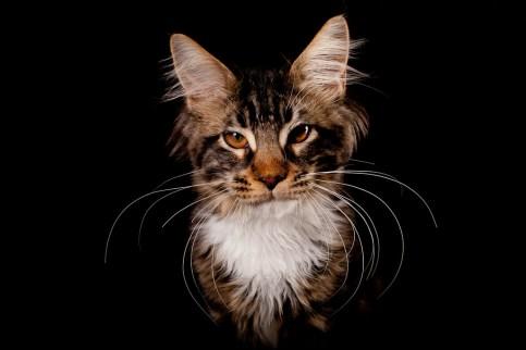 Kattporträtt