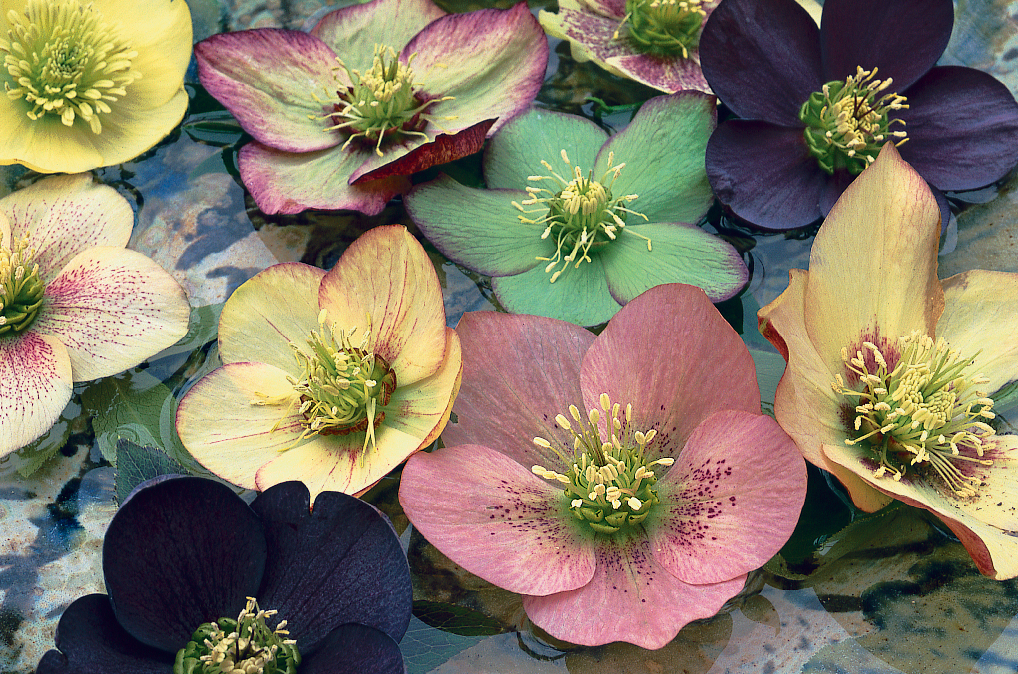 breeding hellebores in pictures