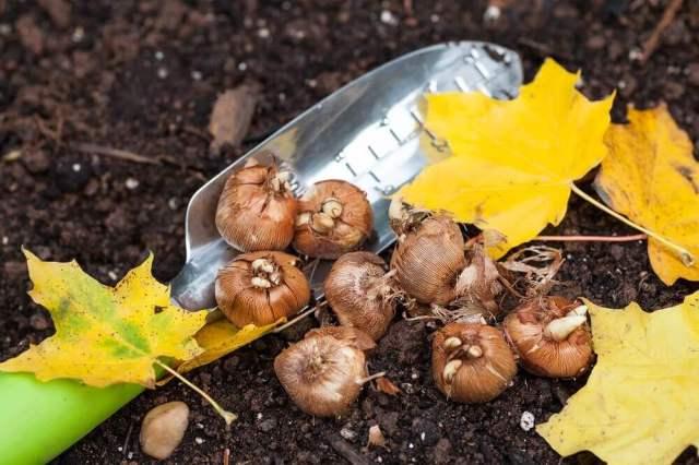 Plant Spring Bulbs September