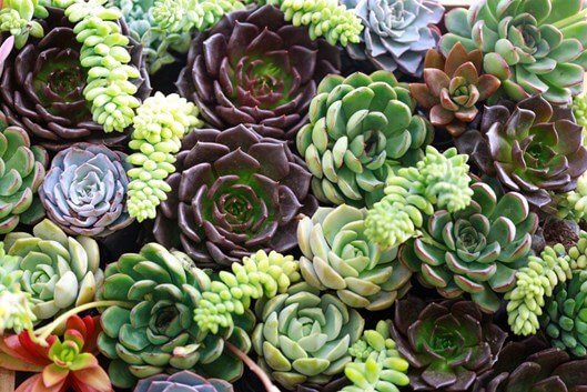 How To Plant Succulents Outside  Gardening Tips