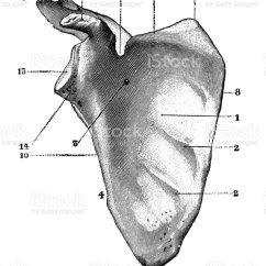 Slug Anatomy Diagram 1972 Chevy C10 Ignition Wiring Antique Illustration Of Human Body Bones Scapula Stock