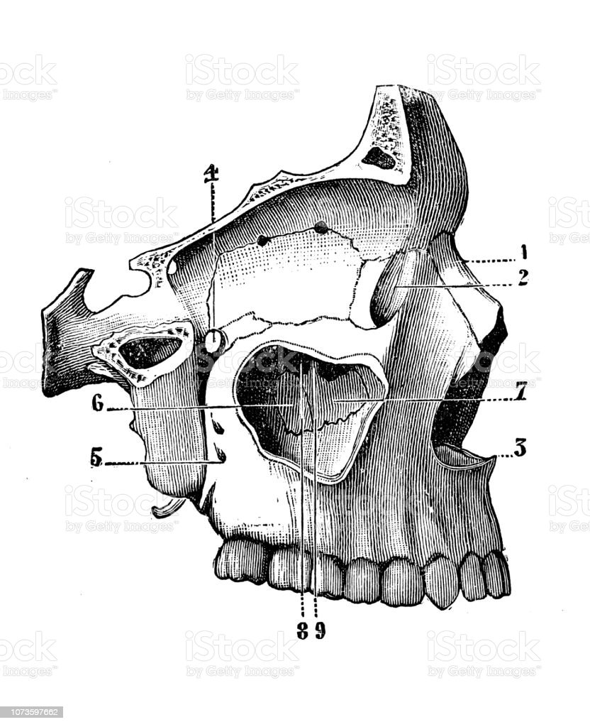 hight resolution of antique illustration of human body anatomy bones skull eye orbit jaw nose