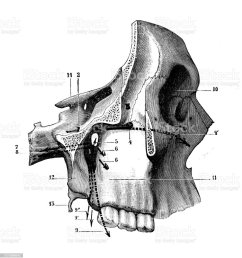 antique illustration of human body anatomy bones skull eye orbit jaw nose [ 941 x 1024 Pixel ]