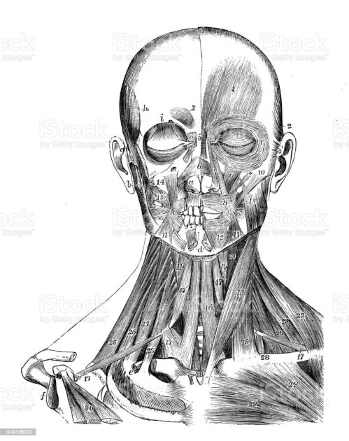 small resolution of antique illustration of human body anatomy head and neck muscles royalty free antique illustration
