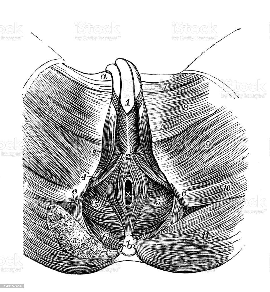 medium resolution of antique illustration of human body anatomy male perineum royalty free antique illustration of human