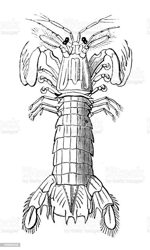 royalty free mantis shrimp clip