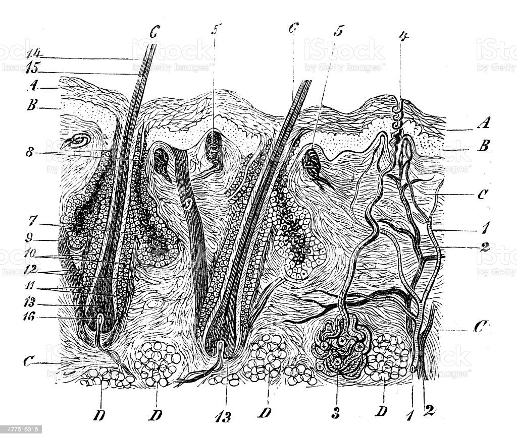 skin cross section diagram fuzz face wiring drawing clip art vector images antique medical scientific illustration high resolution
