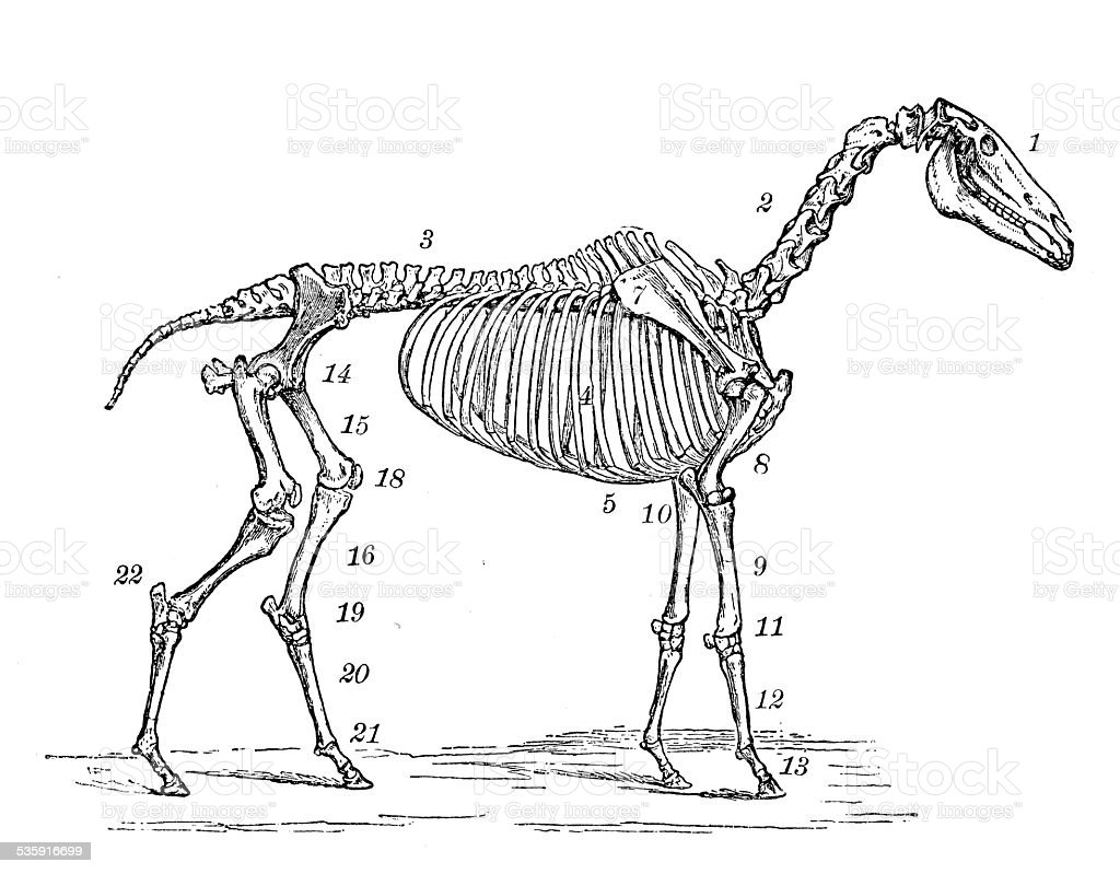 horse skeleton diagram labeled class a fire alarm wiring antique medical scientific illustration