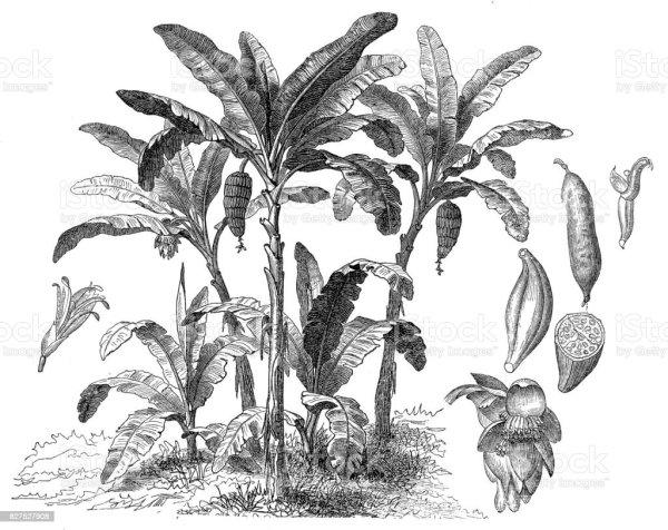 banana tree stock vector art &