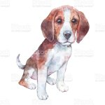 Beagle Puppy Isolated On White Watercolor Art Pr Stock Illustration Download Image Now Istock