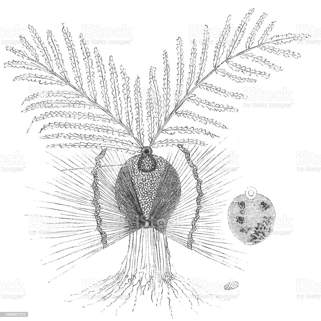 hight resolution of biological diagram of the gemination of a wheat seed royalty free biological diagram of the