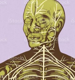 closeup of nerves of head and chest stock vector art more images diagram of head and chest [ 819 x 1024 Pixel ]
