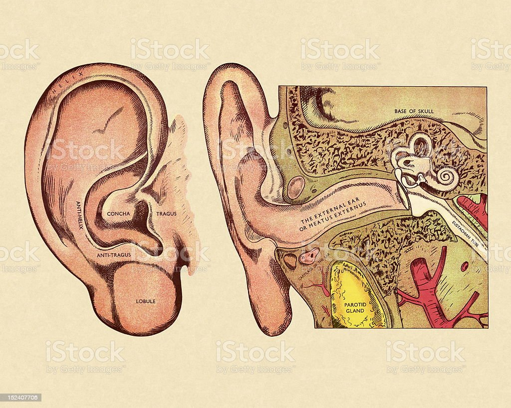 hight resolution of body part human body part single object anatomy biology diagram of ear