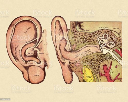 small resolution of body part human body part single object anatomy biology diagram of ear