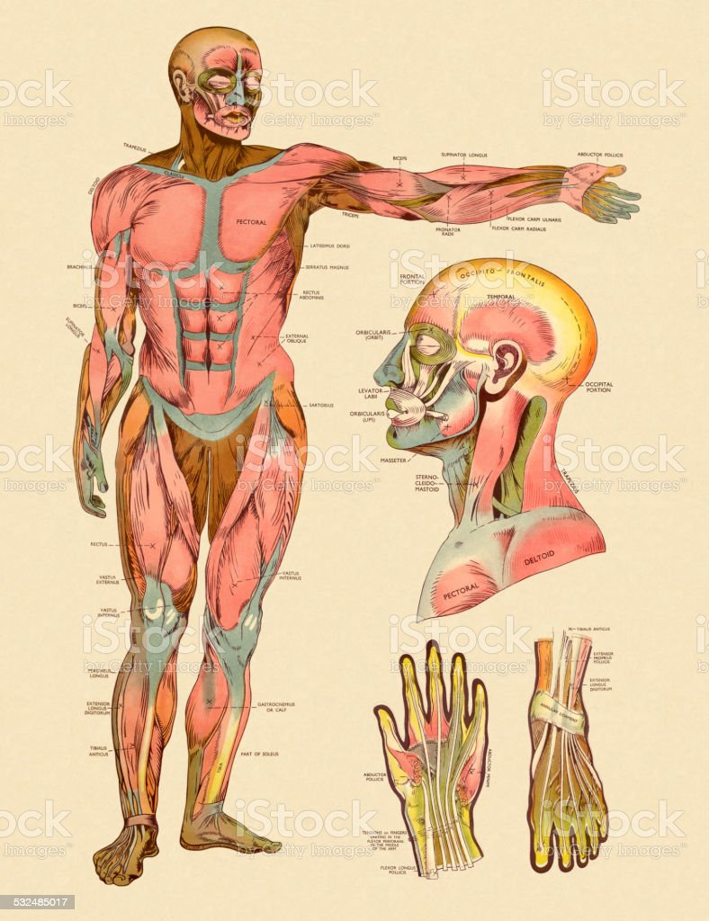 hight resolution of diagram of front muscles of human body royalty free diagram of front muscles of human