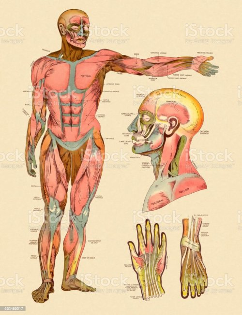 small resolution of diagram of front muscles of human body royalty free diagram of front muscles of human
