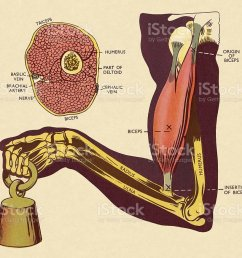 diagram of of muscles and bones in arm royalty free diagram of of muscles and [ 1024 x 870 Pixel ]