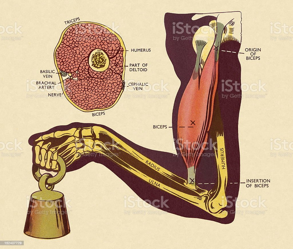 hight resolution of diagram of of muscles and bones in arm royalty free diagram of of muscles and