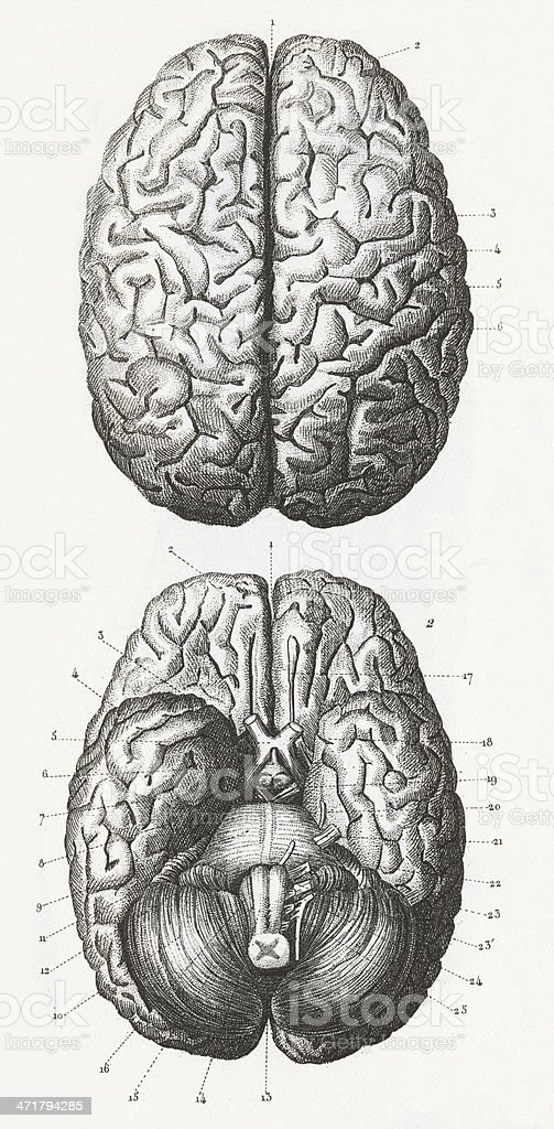 brain diagram inside dimarzio dual humbucker wiring grey sketch of outside and human stock royalty free