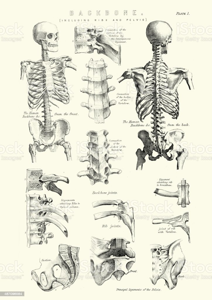 vintage diagram 94 vw jetta parts royalty free medical diagrams clip art vector images human anatomy backbone including ribs and pelvis illustration