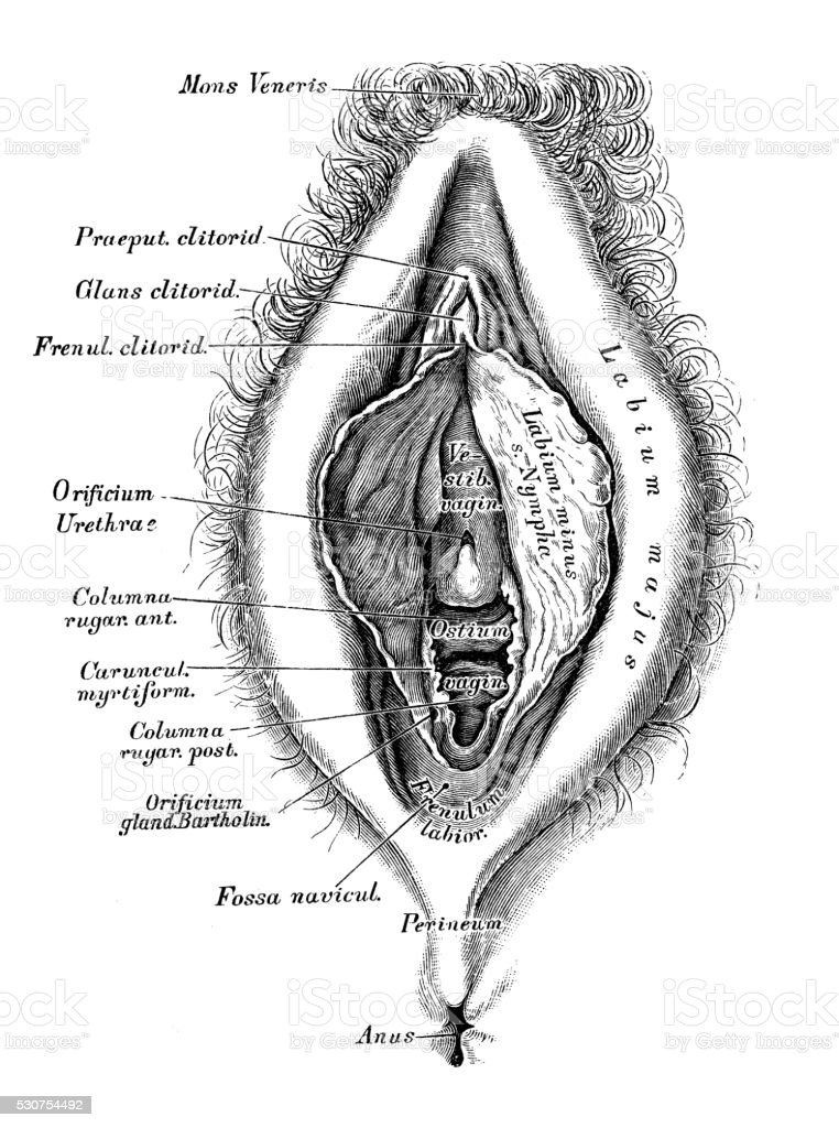 Human Anatomy Scientific Illustrations Female Reproductive