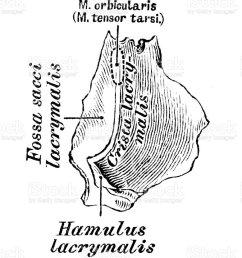 human anatomy scientific illustrations lacrimal bone illustration  [ 779 x 1024 Pixel ]