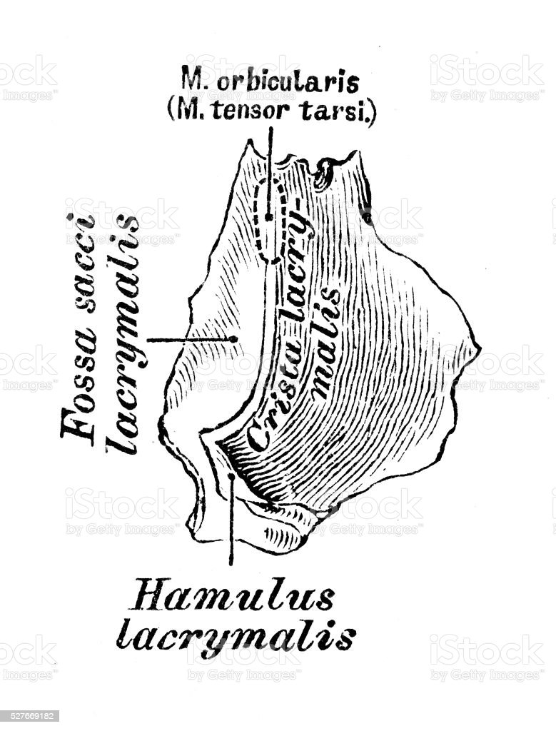 hight resolution of human anatomy scientific illustrations lacrimal bone illustration