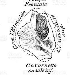 human anatomy scientific illustrations lacrimal bone illustration  [ 804 x 1024 Pixel ]