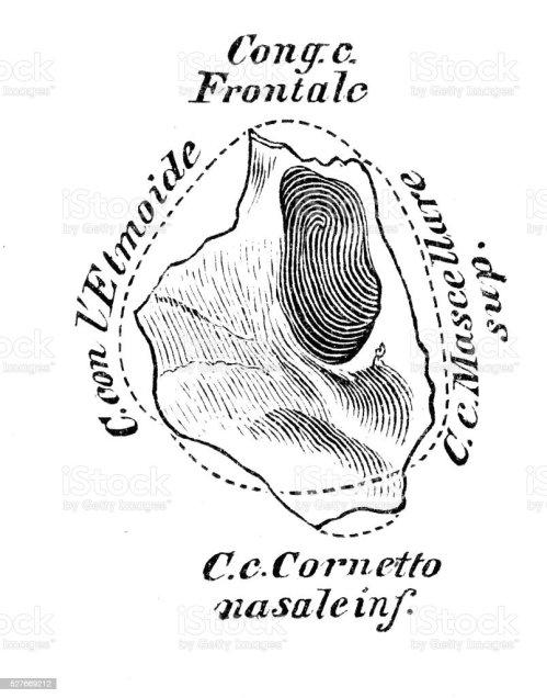 small resolution of human anatomy scientific illustrations lacrimal bone illustration