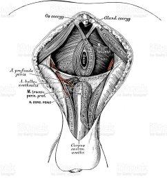 human anatomy scientific illustrations male perineum royalty free human anatomy scientific illustrations male perineum [ 862 x 1024 Pixel ]