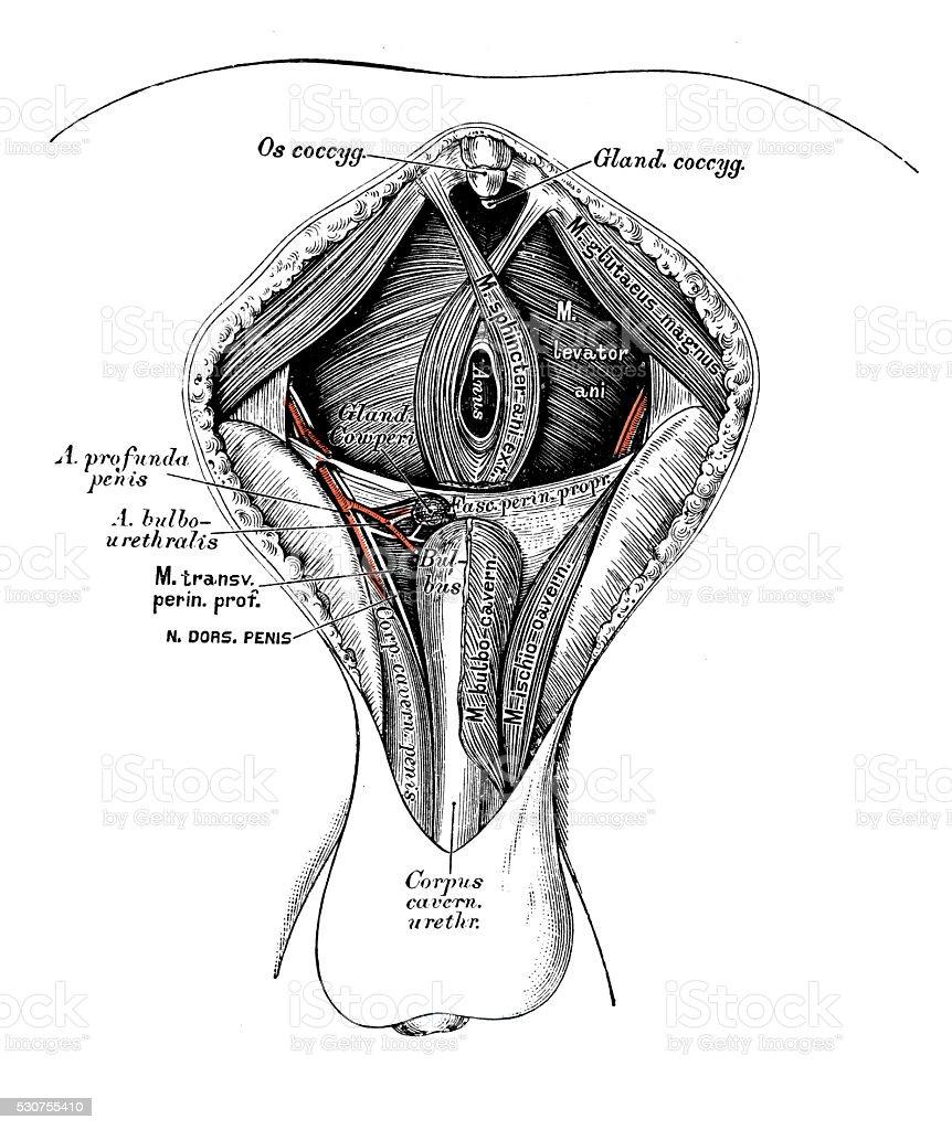 hight resolution of human anatomy scientific illustrations male perineum royalty free human anatomy scientific illustrations male perineum