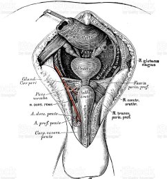 human anatomy scientific illustrations male perineum royalty free human anatomy scientific illustrations male perineum [ 822 x 1024 Pixel ]