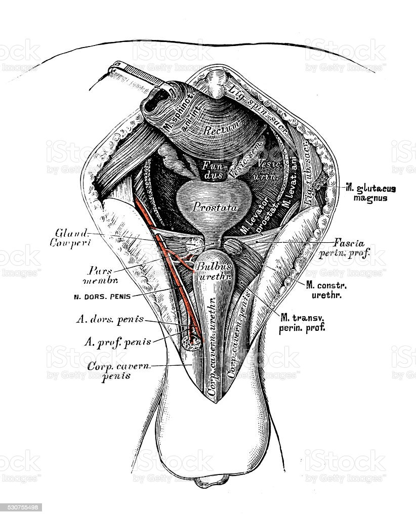 medium resolution of human anatomy scientific illustrations male perineum royalty free human anatomy scientific illustrations male perineum