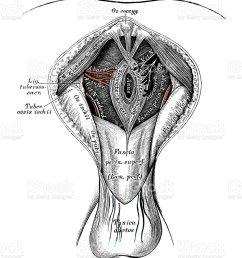 human anatomy scientific illustrations male perineum royalty free human anatomy scientific illustrations male perineum [ 821 x 1024 Pixel ]
