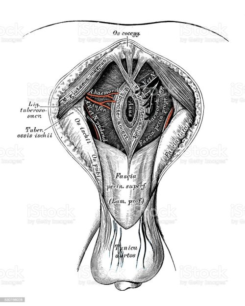 small resolution of human anatomy scientific illustrations male perineum royalty free human anatomy scientific illustrations male perineum