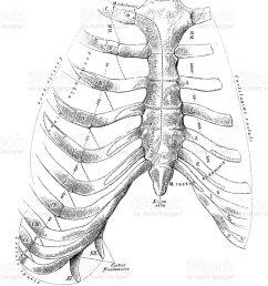 human anatomy scientific illustrations sternum and rib cage illustration  [ 869 x 1024 Pixel ]