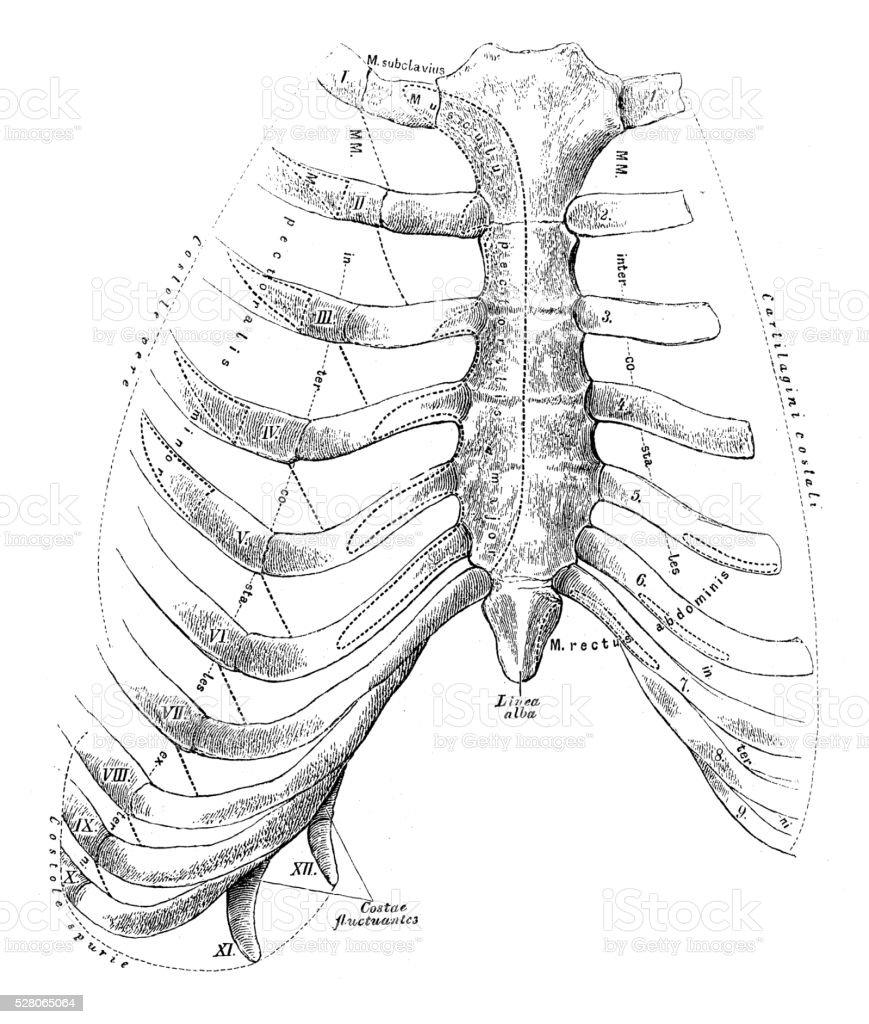 hight resolution of human anatomy scientific illustrations sternum and rib cage illustration