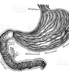 human anatomy scientific illustrations stomach and duodenum intestine royalty free human anatomy scientific illustrations [ 1024 x 851 Pixel ]