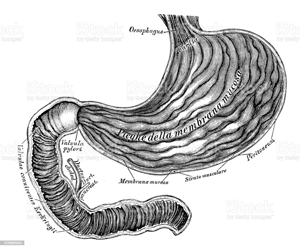 hight resolution of human anatomy scientific illustrations stomach and duodenum intestine royalty free human anatomy scientific illustrations