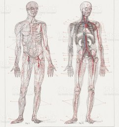 body part human heart anatomy animal body part animal internal organ human blood circulation  [ 887 x 1024 Pixel ]