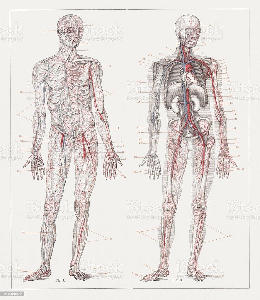 medium resolution of body part human heart anatomy animal body part animal internal organ human blood circulation