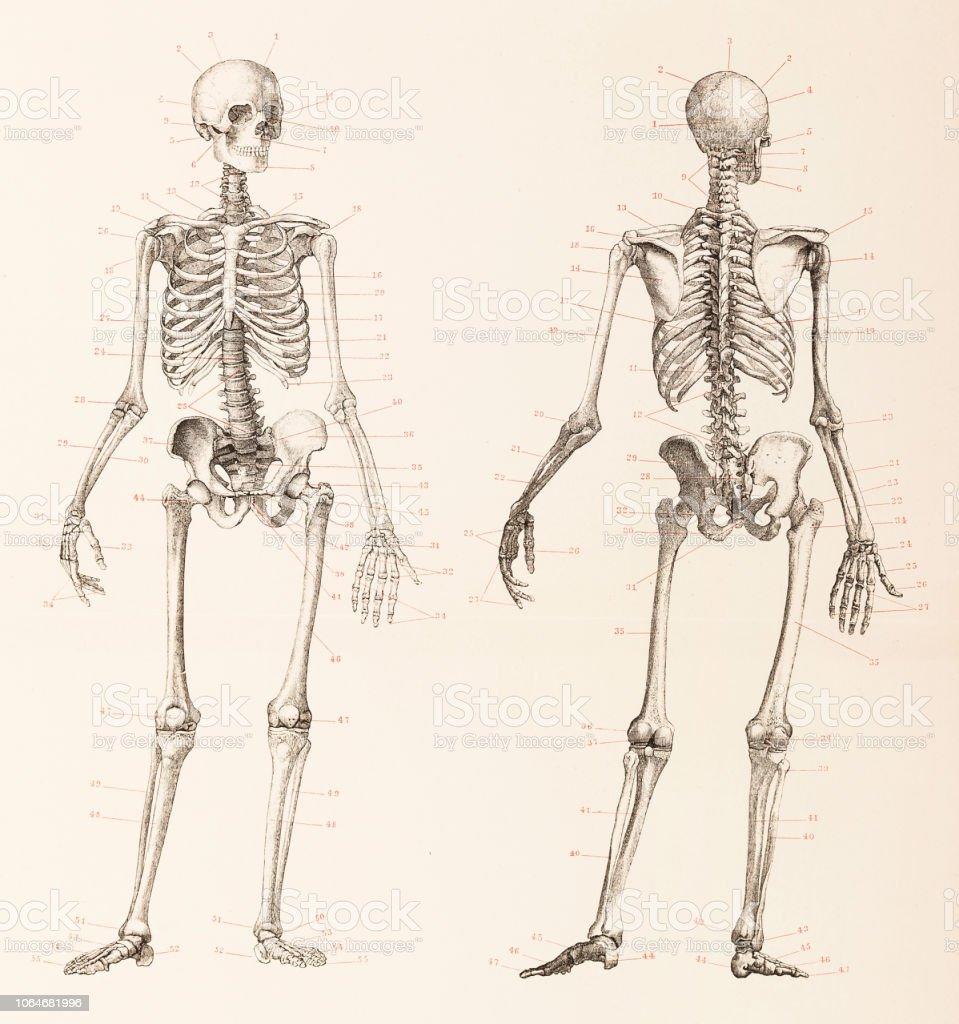 hight resolution of skeleton front and back neck diagram wiring diagramshuman skeleton front and back illustration stock vector art