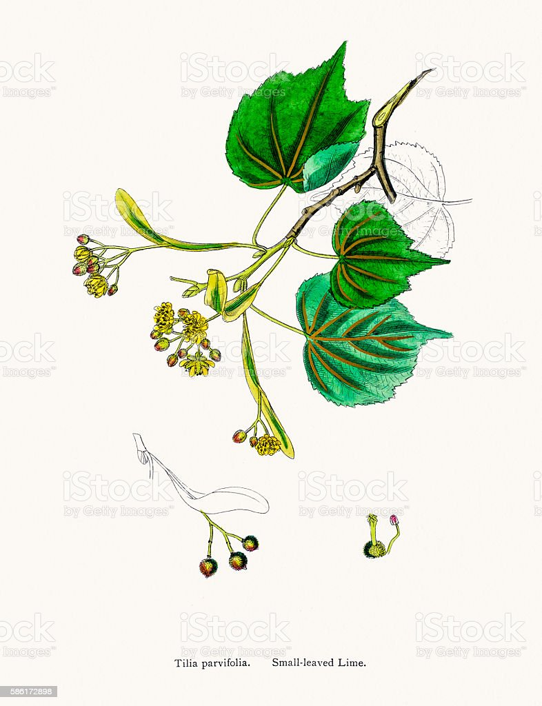 lime tree illustrations royalty-free