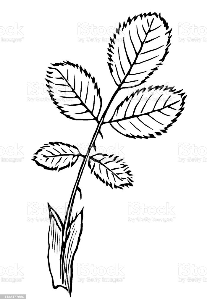 Rose Leaf Drawing : drawing, Canina, Commonly, Known, Stock, Illustration, Download, Image, IStock