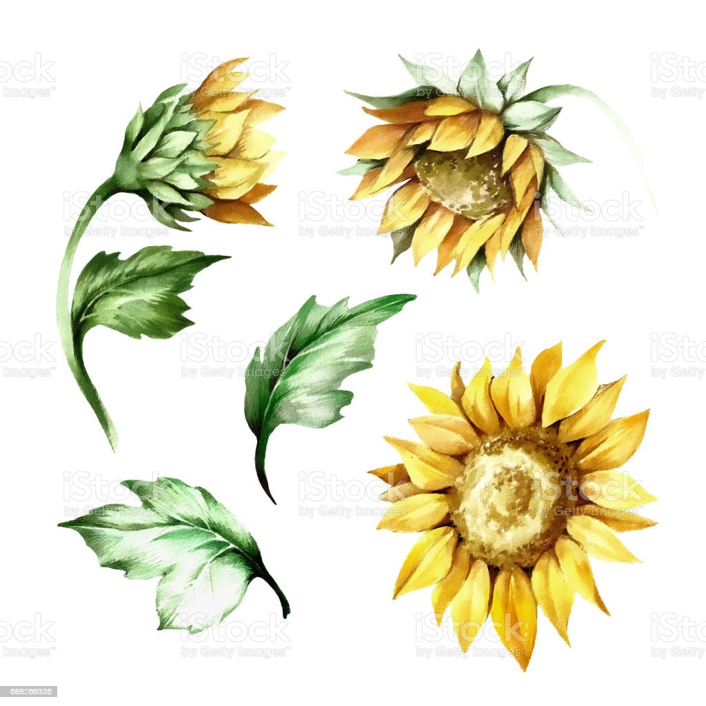 royalty free sunflower bunch clip