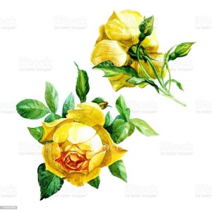 yellow rose illustrations clip roses illustration vector background painted watercolor graphics royalty