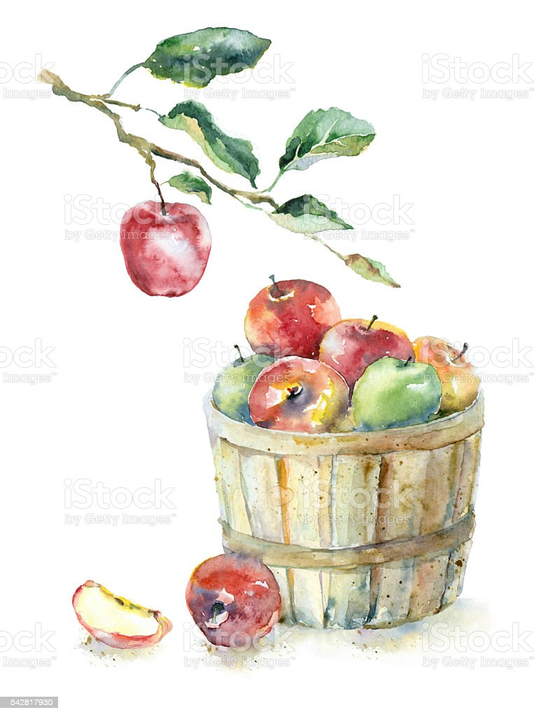 basket of apples illustrations