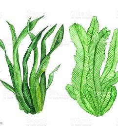 watercolor seaweed green leaves watercolor seaweed green leaves cliparts vectoriels et plus d  [ 1024 x 952 Pixel ]
