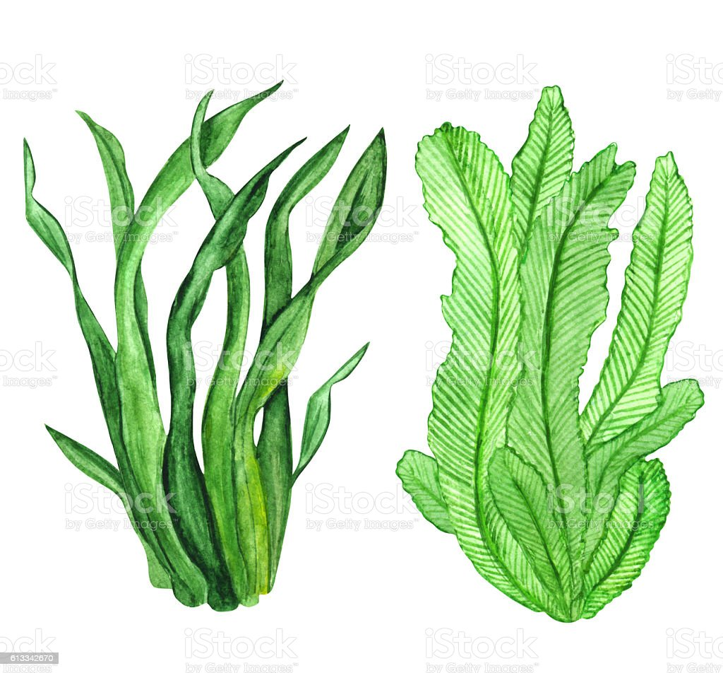 hight resolution of watercolor seaweed green leaves watercolor seaweed green leaves cliparts vectoriels et plus d